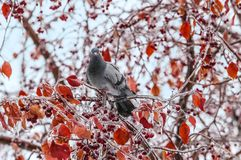 Dove on icy branch. With berries and orange leaves royalty free stock images