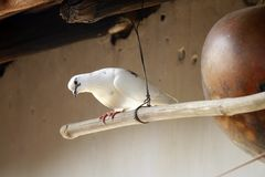 Dove. Image of a dove resting upon a hut a symbol of innocent love. a significance of peace and harmony Stock Photography