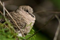 Dove. Inca dove Columbina inca perching in a tree at the San Antonio Botanical Garden in Texas Stock Photo