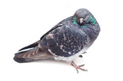 Dove isolated. Dove Pigeon isolated on white background Royalty Free Stock Images