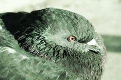 Dove and joy, symbol Royalty Free Stock Image