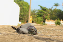 Dove Lying on the floor was bird flu. Stock Image