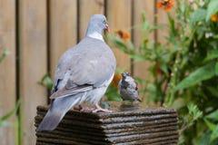 A dove meets a house sparrow at a fountain Stock Image