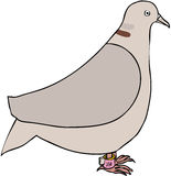 Dove memory. Collared dove with memory stick on leg Stock Image