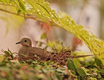 Dove mother nest Stock Image
