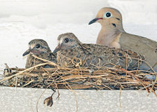Dove. Mourning Doves Mom And Chicks In Nest Royalty Free Stock Image