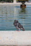 Dove near the fountain, Paris Royalty Free Stock Images