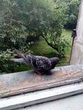 Dove near window royalty free stock photography