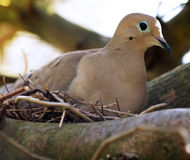 Dove on a nest. Nesting mourning dove. Zenaida macroura. Shallow depth of field, focus on the head Royalty Free Stock Photo