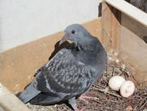 Dove nest. Wild dove nest with two eggs stock image