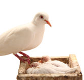 Dove in the nest Stock Images