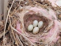 Dove nest. Nest full Of Eggs, insulated nest Stock Images