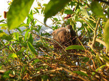 Dove on the nest Royalty Free Stock Photography
