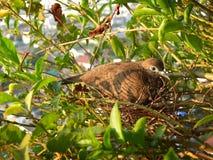 Dove on the nest Stock Photo