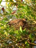 Dove on the nest Stock Photos