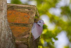 Dove in nestbox Stock Images