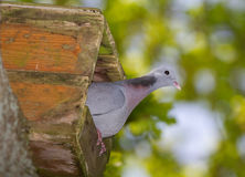 Dove in nestbox Stock Photography