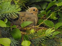 Dove nesting Stock Images