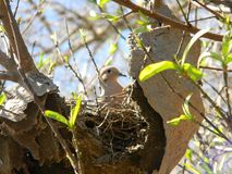 Dove nesting. Pigeon nests on an abandoned honeycomb Stock Photography