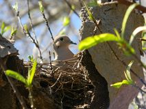 Dove nesting. Pigeon nests on an abandoned honeycomb Stock Image