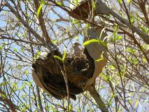 Dove nesting. Pigeon nests on an abandoned honeycomb Stock Photo