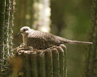 Dove. Nesting in saguaro - Saguaro National Park Royalty Free Stock Image