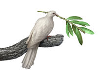 Dove And Olive Branch. Dove holding an olive branch isolated on a white background as a symbol of peace and tranquility and hope for the future of humanity on Stock Image