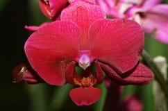 Dove orchid Stock Photo