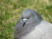 Dove Royalty Free Stock Photos