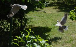 Dove with outstretched wings. Gray dove with outstretched wings royalty free stock photos