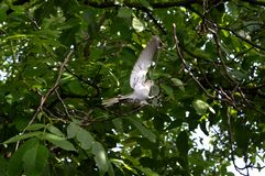 Dove with outstretched wings. Gray dove with outstretched wings stock photos