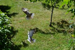 Dove with outstretched wings. Gray dove with outstretched wings stock image