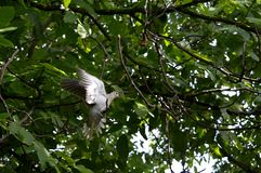 Dove with outstretched wings. Gray dove with outstretched wings royalty free stock image