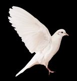 Dove over black Royalty Free Stock Photo