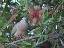 Dove over a branch Stock Photography