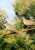 Dove pair Stock Photography