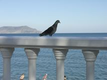 Dove on the parapet royalty free stock image