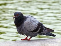 Dove of Paris city. Birds life in the city.