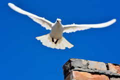 Dove of peace Royalty Free Stock Image