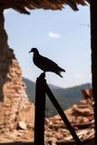 The dove, peace symbol Royalty Free Stock Photo