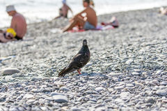 Dove on pebbles Royalty Free Stock Photography
