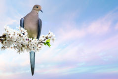Dove perched on blossoming cherry branch Stock Photos