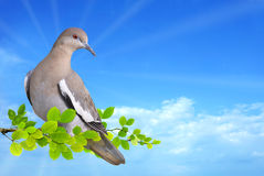 Dove perched on branch. Against blue sky background Royalty Free Stock Photo