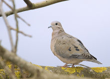 Dove perched on a branch Royalty Free Stock Photo