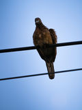 Dove Perched on a Wire After Rain Royalty Free Stock Images