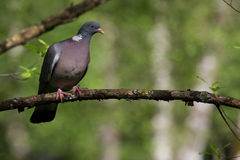 Dove. Perching on a branch in the forrest Stock Images