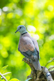 Dove Royalty Free Stock Photo