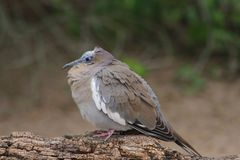 Dove in the Phoenix Zoo. This is a photo of a dove taken at the Phoenix Zoo in Arizona while I was on vacation February 2017 Royalty Free Stock Photography