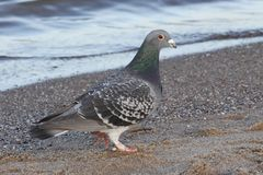 Dove. Pigeon on the beach and sea Royalty Free Stock Photos