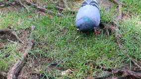 Dove pigeon bird walking on the nature ground with ambient sound.  stock video footage